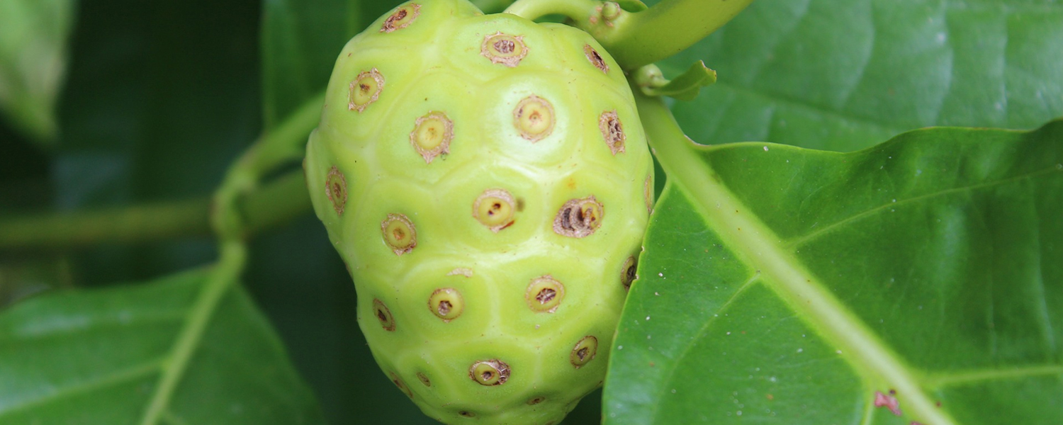 Why Is Noni Fruit Not Well Known