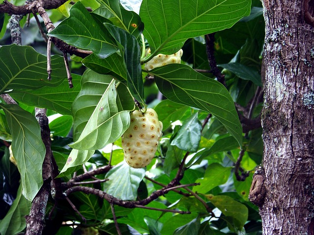 What's So Special About Noni Fruit?