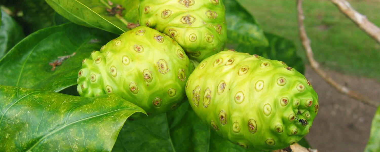 High Antioxidant Superfruit Noni Has Amazing Health Benefits – Learn All About It Here